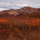 Picture - Orange colors of fall in Denali National Park.