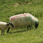 Picture - Sheep enjoying the day at Dingle Penninsula.