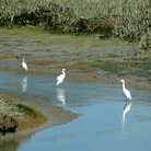 Picture - Great Egrets, San Francisco Bay National Wildlife Refuge, Fremont.