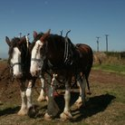 Picture - Clydesdale horses on a farm museum in Kilbride.