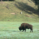 Picture - Bison at Northwest Trek Wildlife Park in Eatonville.