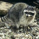 Picture - A raccoon at the Northwest Trek Wildlife Park in Eatonville.