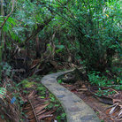 Picture - Pathway through El Yunque National Forest.