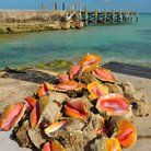 Picture - Sea shells lying in front of a dock on Eleuthera Island.