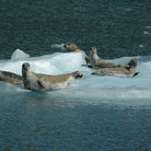 Picture - Harbor seals on an ice floe in Prince William Sound.