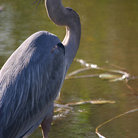 Picture - Great blue heron in the Everglades National Park.
