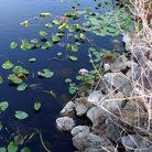 Picture - Lily pads on canal in the Florida Everglades.