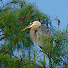 Picture - Great Blue Heron in Cypress trees, Everglades.