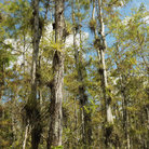 Picture - Airplants growing on cypress trees in Everglades National Park.