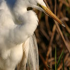 Picture - Great Egret in the Everglades National Park.