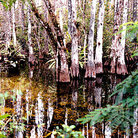 Picture - Swamp land in Everglades National Park.