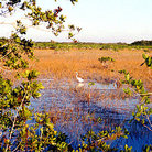 Picture - An egret in the grasslands of Everglades National Park.