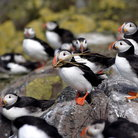 Picture - Nesting Puffins on the Farne Islands.