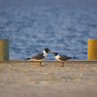 Picture - Pair of black winged gulls at Fenwick Island.