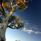Picture - Tree and mountains in the Flinders Ranges.