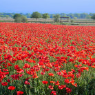 Picture - Field of Red Corn Poppies near Fredericksburg.