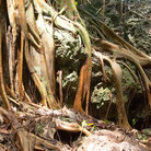 Picture - Tree roots in the forest of Fregate Island.