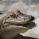 Picture - An alligator close up at Gatorland.