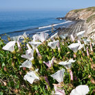 Picture - Flowers and coastline of Gaviota State Park at Santa Barbara.