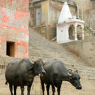 Picture - Water buffalo on the Varanasi Ghats.
