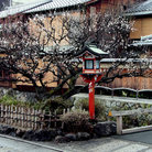 Picture - Spring time in Gion.