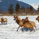 Picture - Caribou Herd at Girdwood Wildlife Conservation Center.