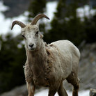 Picture - Big horned sheep in Glacier National Park.