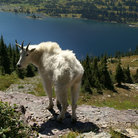 Picture - Mountain Goat at Hidden Lake, Glacier National Park.
