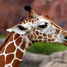 Picture - A giraffe at the Gladys Porter Zoo in Brownsville.