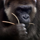 Picture - An ape at the Gladys Porter Zoo in Brownsville.