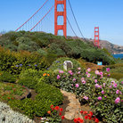 Picture - Golden Gate Bridge rises above the flowers.