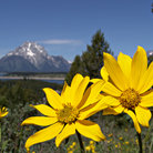 Picture - Wildflowers in Grand Teton National Park.