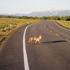 Picture - Coyote on the highway in Grand Teton National Park.