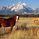 Picture - Horses in a field near Grand Teton National Park.