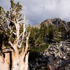 Picture - An ancient bristlecone tree in Great Basin National Park.
