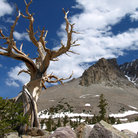 Picture - A bristlecone pine tree in the mountains of Great Basin National Park.