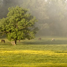 Picture - Horses grazing at Cades, Cove, Great Smoky Mountains National Park.