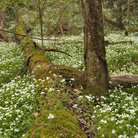Picture - Trilliums around a moss covered log in Great Smoky Mountains National Park.