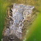 Picture - Crocodile on Green Island.