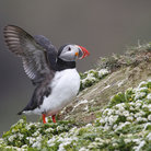 Picture - A puffin along a cliff near Grimsey.