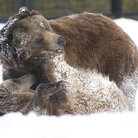 Picture - Bears playing in the snow at the Grizzly & Wolf Discovery Center in West Yellowstone, MT.