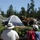Picture - Tent Bears at Grizzly & Wolf Discovery Center.