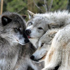 Picture - Wolves at Grizzly & Wolf Discovery Center in West Yellowstone, MT.