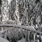 Picture - Snow covered trees on Grouse Mountain outside Vancouver.