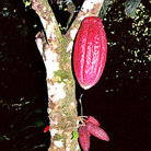 Picture - Cacao pods on Hacienda Bukare Cacao Plantation.