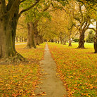 Picture - Fall at the avenue of trees in Hagley Park, Christchurch.