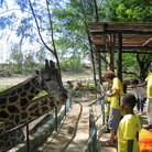 Picture - Bamburi Nature Trails Haller Park Feeding Giraffes.
