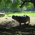 Picture - Hippos at Haller Park.