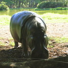 Picture - A hippo at Haller Park.