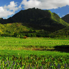 Picture - Taro fields in Hanalei Valley.